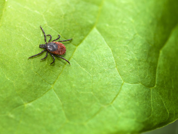 fight fleas and ticks naturally