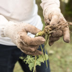 Closeup portrait of a farmer's muddy, gloved hands holding a freshly harvested wasabi plant