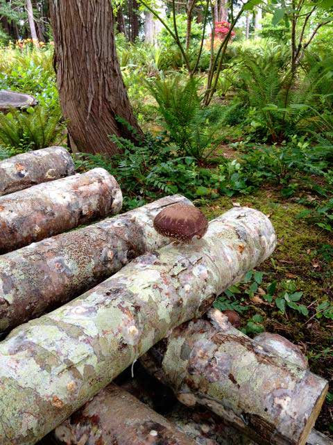 11 First Shiitake on Log