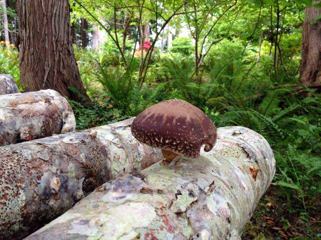 12 Closeup of Shiitake