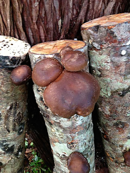 18 Shiitake log 2013