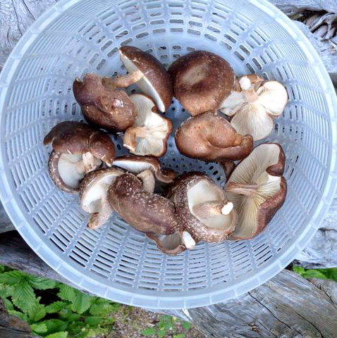 20 Shiitake picked 2013