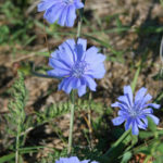 a description of chicory cichorium intybus a weed which produces blue flowers Gather the fresh flowers to make a tincture to refresh the power of the knives use an infusion as a magickal wash for ritual tools or sacred space brings protection and magickal watchfulness against negative energies in ritual wash a new cauldron in the infusion or burn aconite in its first fire used to invoke hecate wrap the seed in a.