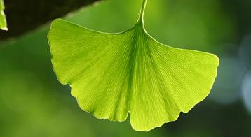 ginkgo biloba herbal remedies