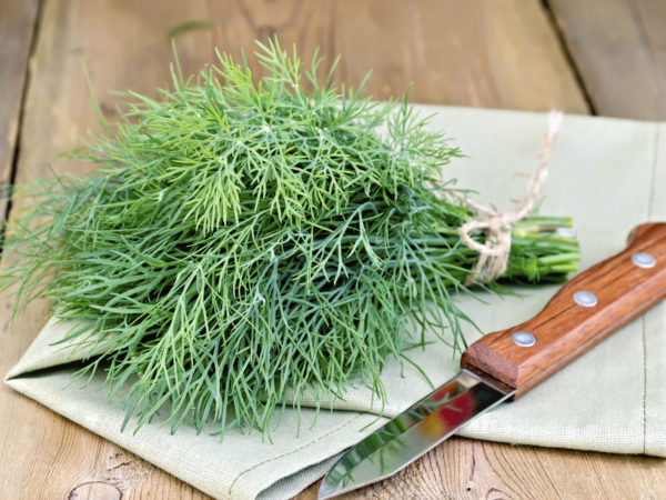 Bundle of dill, tied with twine, with a knife and a napkin on the background of wooden boards