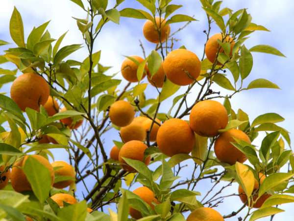 Turkey 115 thousand hectares, citrus fruits are produced by 32 thousand farmers.