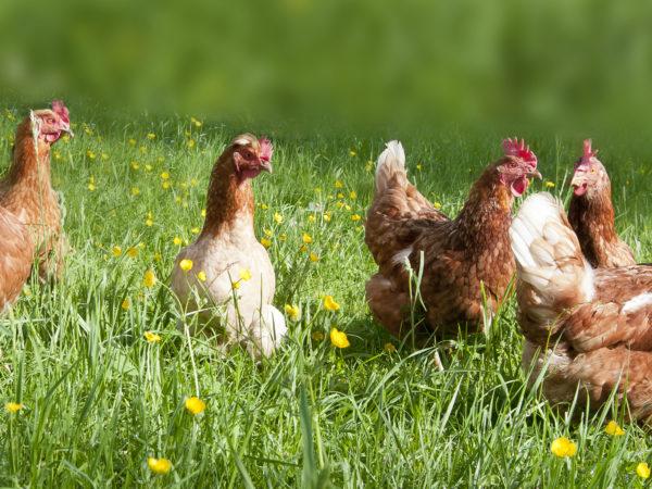 Free range chicken on an organic farm in Austria; Freilandhühner auf einem Bauernhof in Oberösterreich
