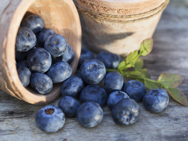 Fresh ripe Blueberries crop in the garden