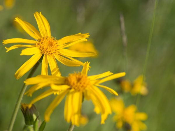 Arnica Montana, wild flower in mountains, natural medicine, Bohemia
