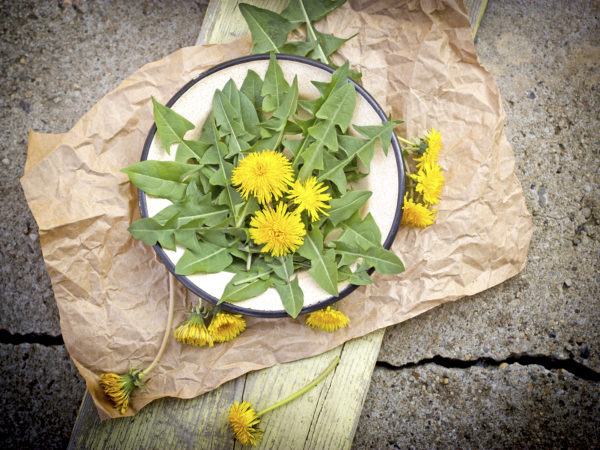 Edible dandelion leaves
