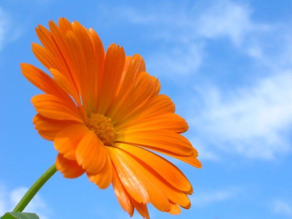 calendula, spring flowers