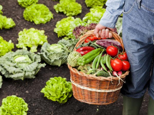 Farmer holding basket full of vegetables