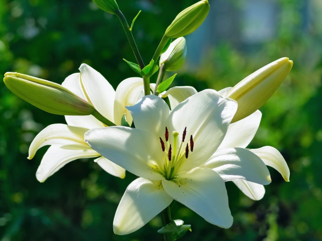 Is it dangerous to plant on a septic field ask dr weil beautiful white lily flowers on a background of green leaves dhlflorist Choice Image