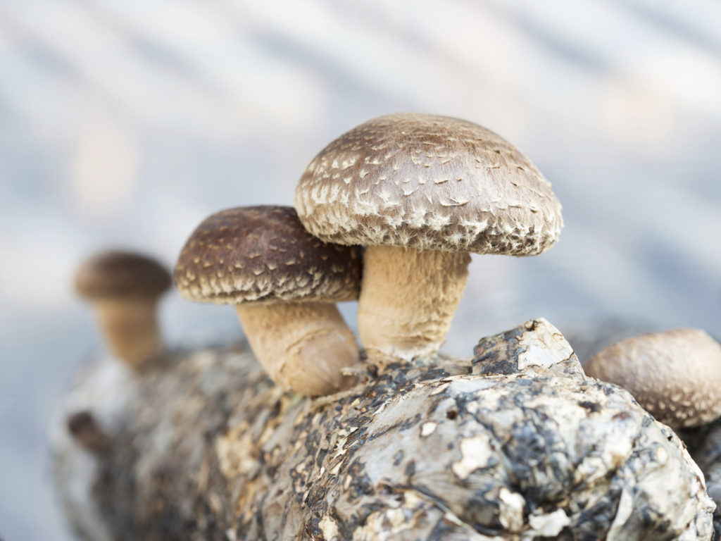 Forum on this topic: 12 Amazing Benefits Of Shiitake Mushrooms For , 12-amazing-benefits-of-shiitake-mushrooms-for/