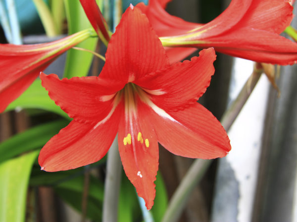 Blooming red amaryllis in the summer garden