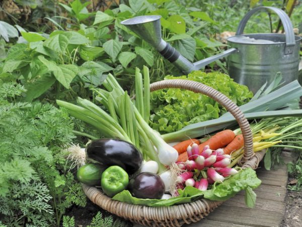 fresh garden vegetables in wicker basket with watering can
