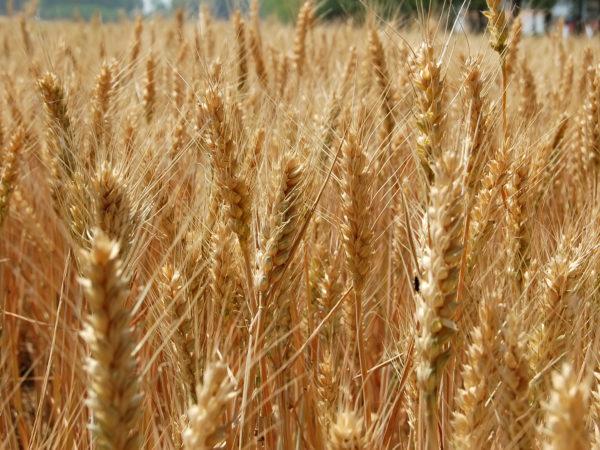Mature Wheat