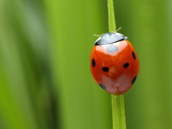 Allergic to Ladybugs? - DrWeil com