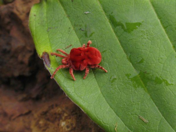 红色红莓病