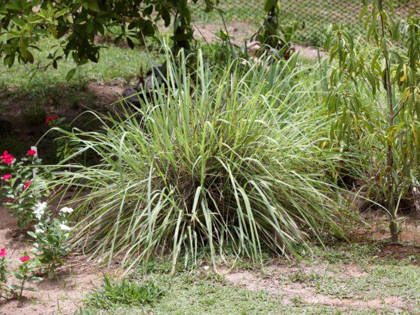 """Lemon grass herbs, Citronella foliage"""