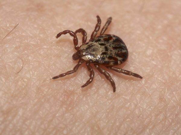 Another Tick Threat? | Insects & Parasites | Andrew Weil, M.D.