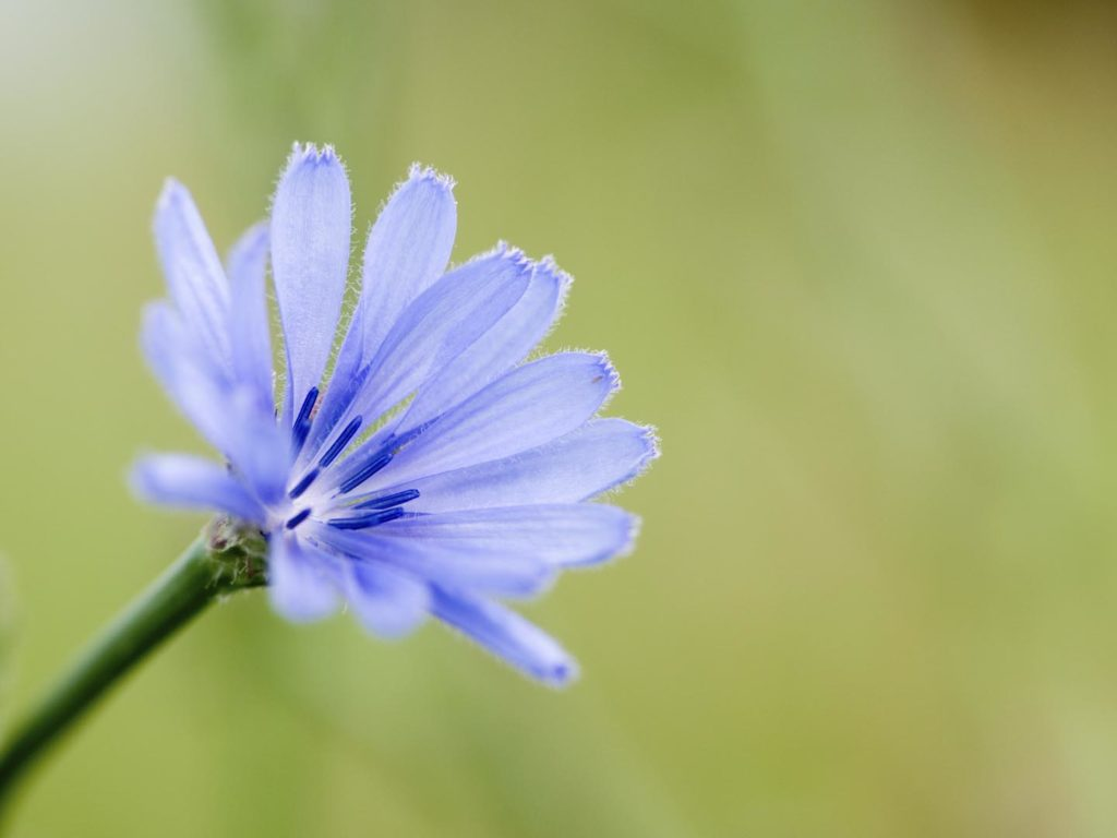 Can chicory be pregnant 37