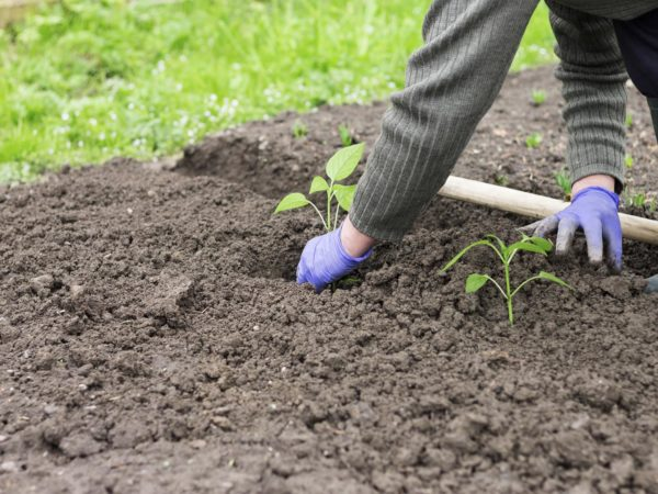 Woman with blue gloves planting a pepper seedling in vegetable garden.