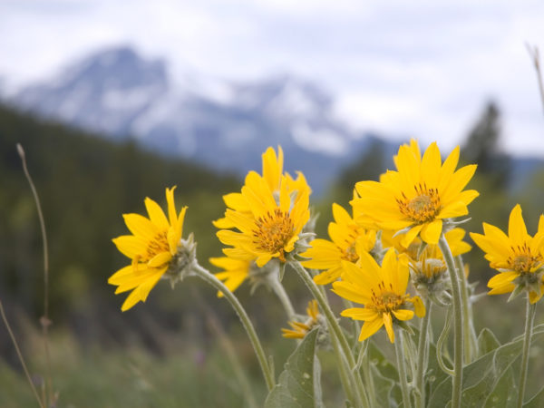 Arnica Uses, Doses, Interactions, Remedy and Benefits | Dr  Weil