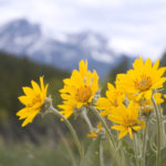 Arnica: Uses & Benefits | Herbal Remedies | Andrew Weil, M.D.