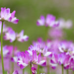 """""""Astragalus sinicus colse-up Please visit my other pictures, thank you!,thanks."""""""