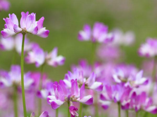Astragalus - DrWeil com