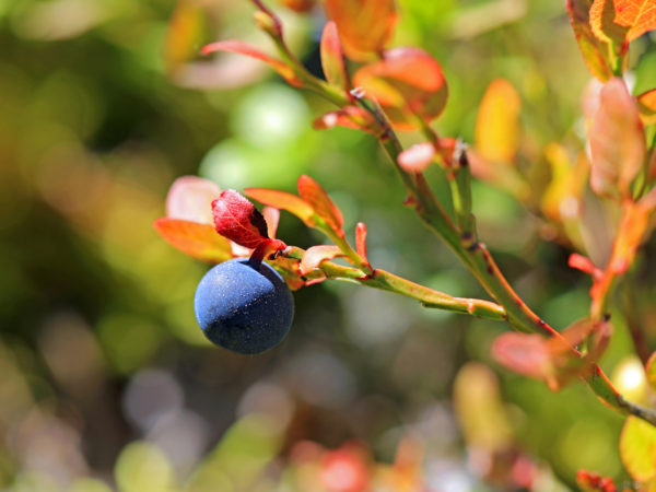 Close up of Single bilberry or Vaccinium myrtillus in autumn, very shallow depth of field, suitable for backgrounds.