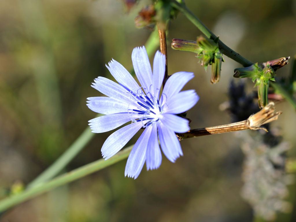 Can chicory be pregnant 63