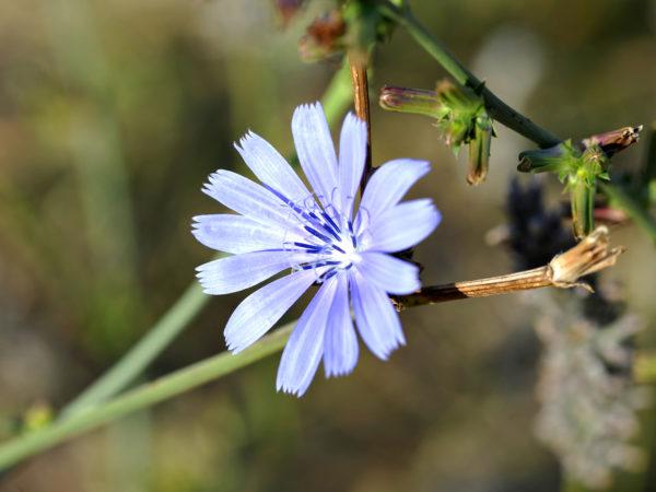 Flower of Luberon - Chicory