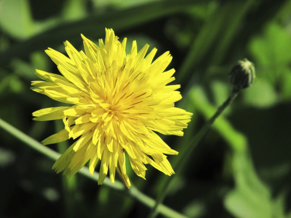 Macro photo of a yellow dandelion and a bud.