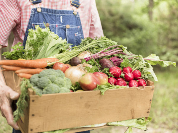 Unrecognizable mature male farmer is picking and inspecting his crop organic vegetables that he has grown on his farm or garden.  He is taking the various veggies to the market to sell.  These plants are growing in the spring and summer season. Homegrown produce.  Close-up of hand, crops.  Man wearing overalls stands behind the crate of produce.
