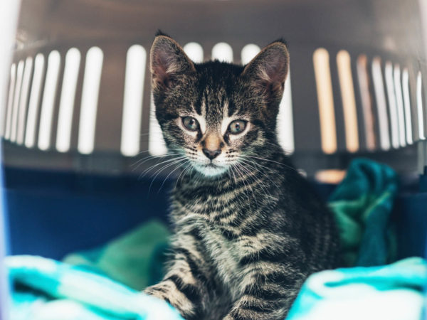 Curious cute little tabby kitten with huge eyes staring curiously at the camera as it sits on a blue blanket in a travel crate