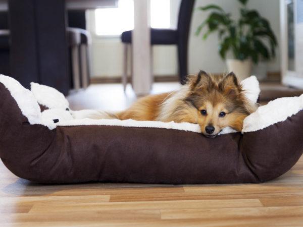 Sheltie Hund liegt im Körbchen