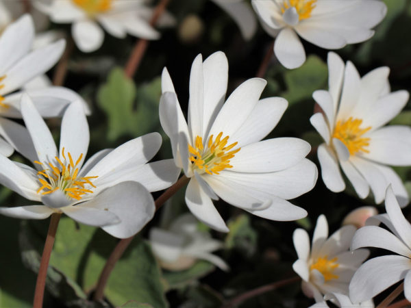 bloodroot for skin cancer