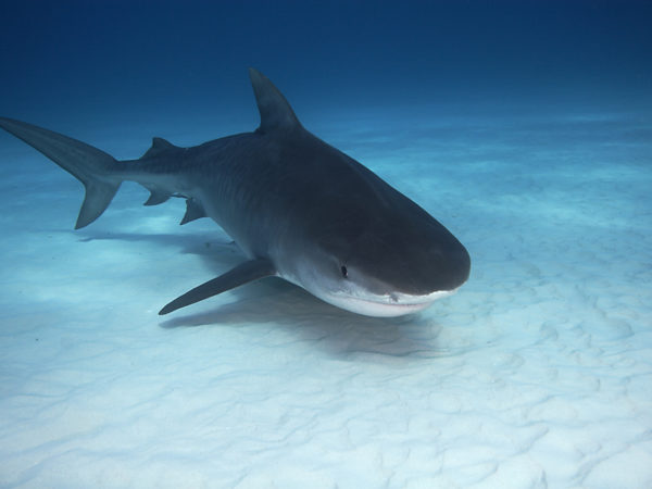 can shark cartilage cure cancer