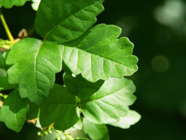 Poison Oak | Skin Rashes | Andrew Weil, M.D.
