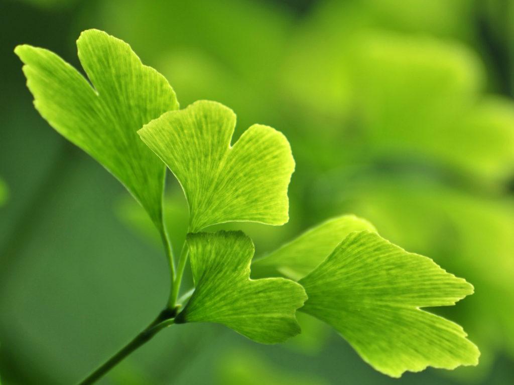 Ginco leaf