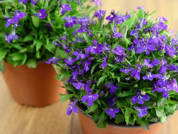 flower pots of blue Garden Lobelia (Lobelia erinus) on wooden table.