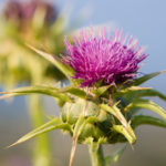 A Milk Thistle | Herbs & Remedies | Andrew Weil, M.D.