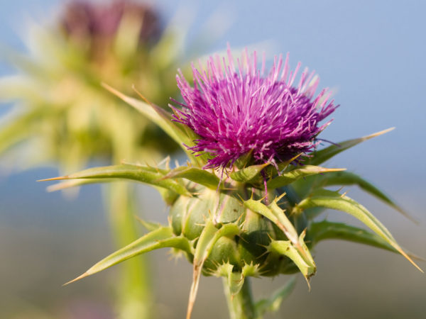 Milk Thistle (Silybum marianum). Also known as Marian's Thistle, St. Mary's Thistle, Holy Thistle, and Blessed Thistle. Historically used as a medicinal herb. An invasive species in many areas.