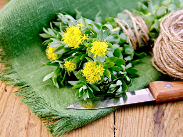 Rhodiola Rosea, Golden Root | Herbal Remedies | Andrew Weil, M.D.
