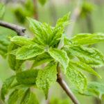 Siberian ginseng spring leaves