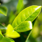 Tea Tree Oil | Herbal Remedies | Andrew Weil, M.D.