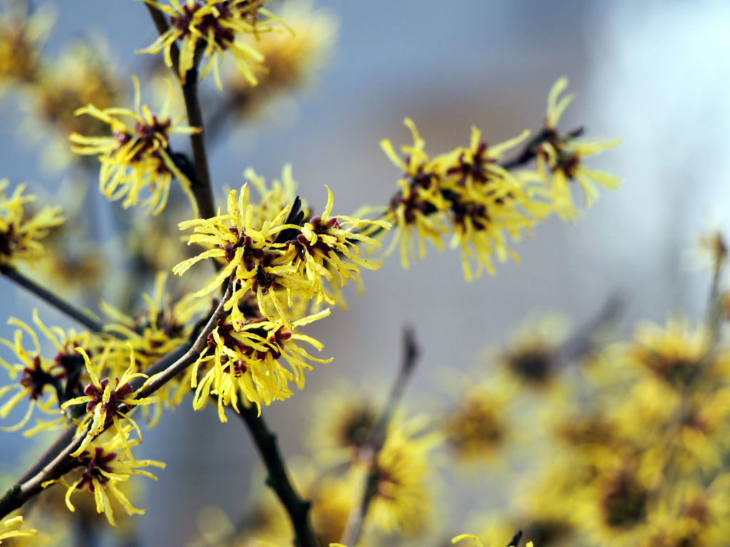 witch hazel for skin care