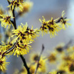 Witch Hazel For Skin Care | Herbal Remedies | Andrew Weil, M.D.